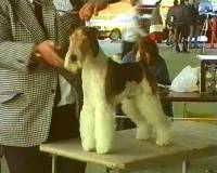 wire-fox-terrier.jpg