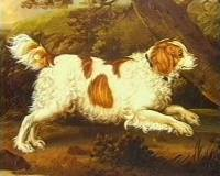 Red and White Spaniel